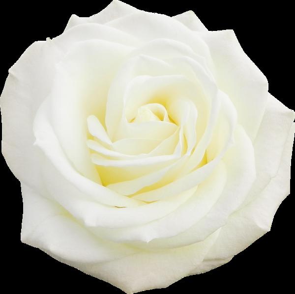 """Résultat de recherche d'images pour """"la rose blanche"""""""