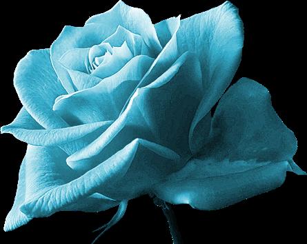 Belle Image Rose Bleu une belle rose bleu