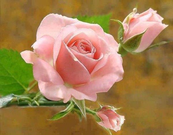 """Résultat de recherche d'images pour """"belles images roses"""""""
