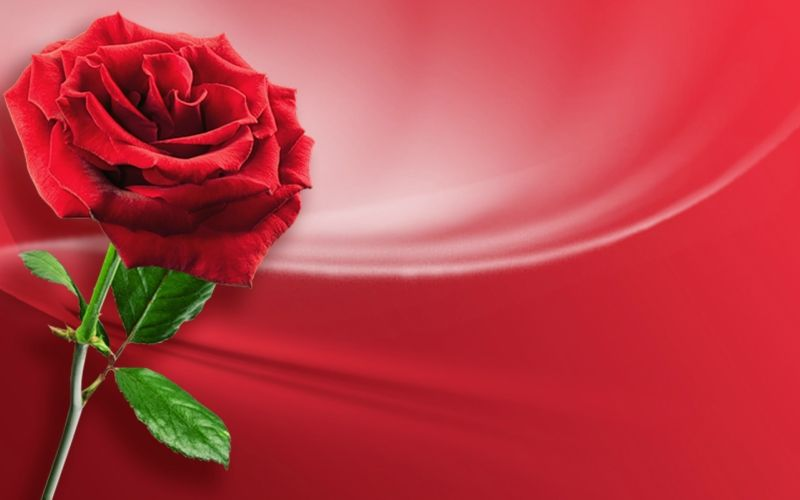 Fond ecran les roses for Fond ecran rose